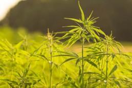 TAO organically grown hemp field
